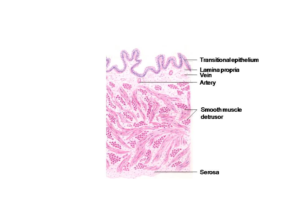 Histology Diagrams  Special Histology