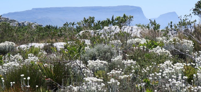 Table Mountain with Syncarpha vestita in November