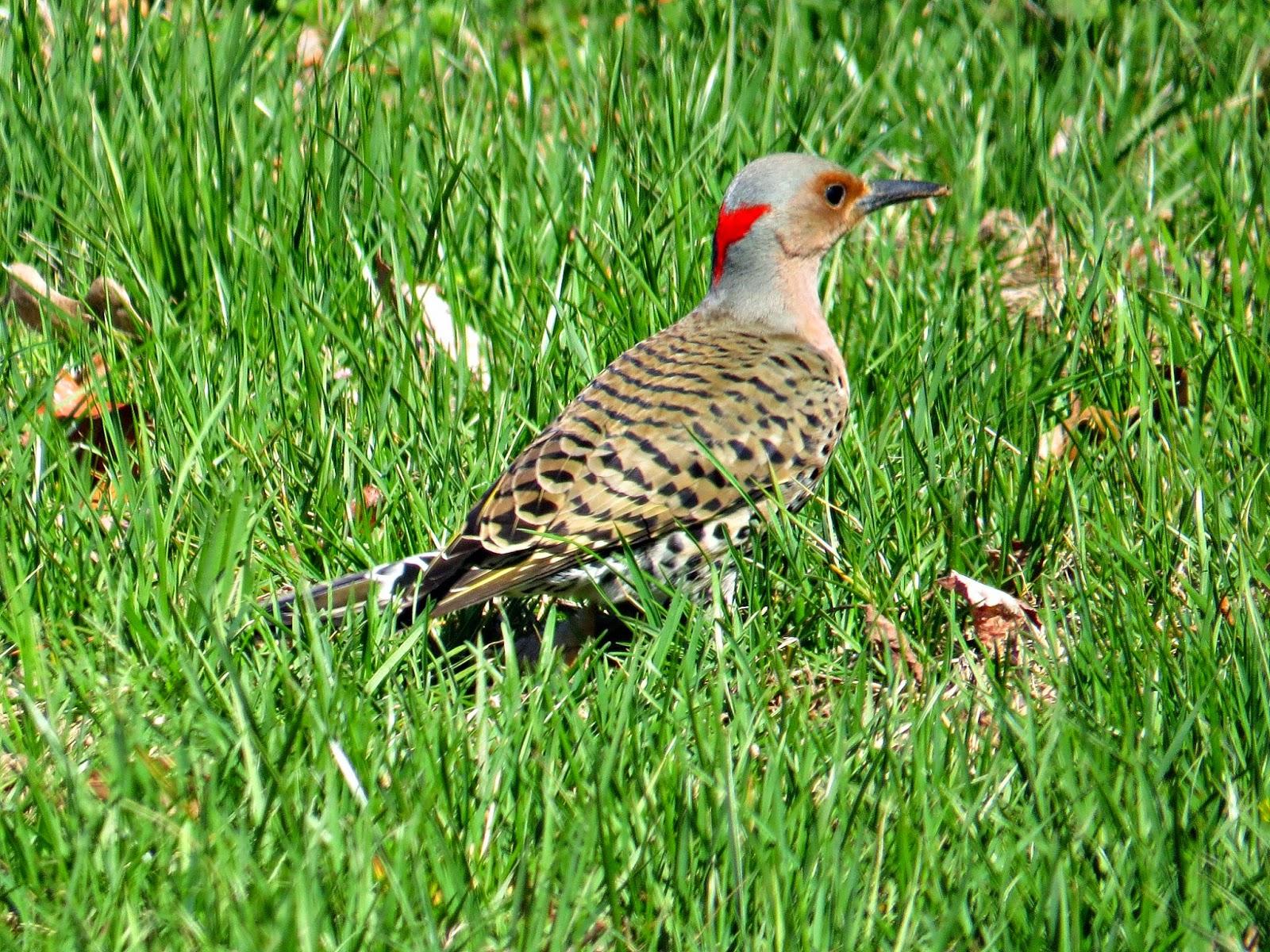 Birds of Raymondale, Falls Church, VA: Northern Flicker