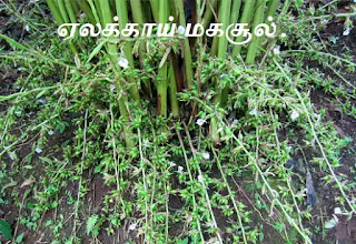 Cardamom cultivation and crop protection