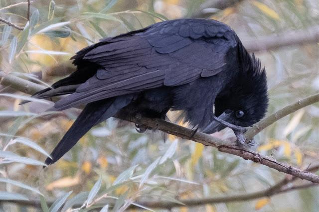 crow Krähe © Chris zintzen @ panAm productions 2019