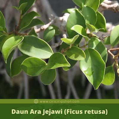 Ciri Ciri Daun Ara Jejawi (Ficus retusa)