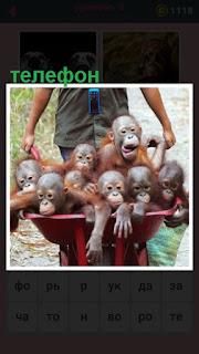 на шее мужчины висит телефон, который везет маленьких обезьян в тележке