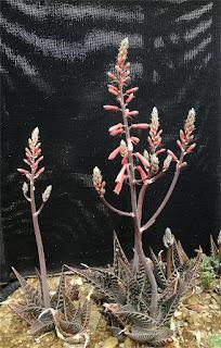 Aloe ausana