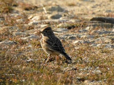 lesser short-toed lark