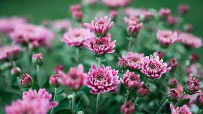 Chrysanthemum, Purple, Flower, Field, Bloom