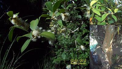 Guayabo blanco (Eugenia uruguayensis)
