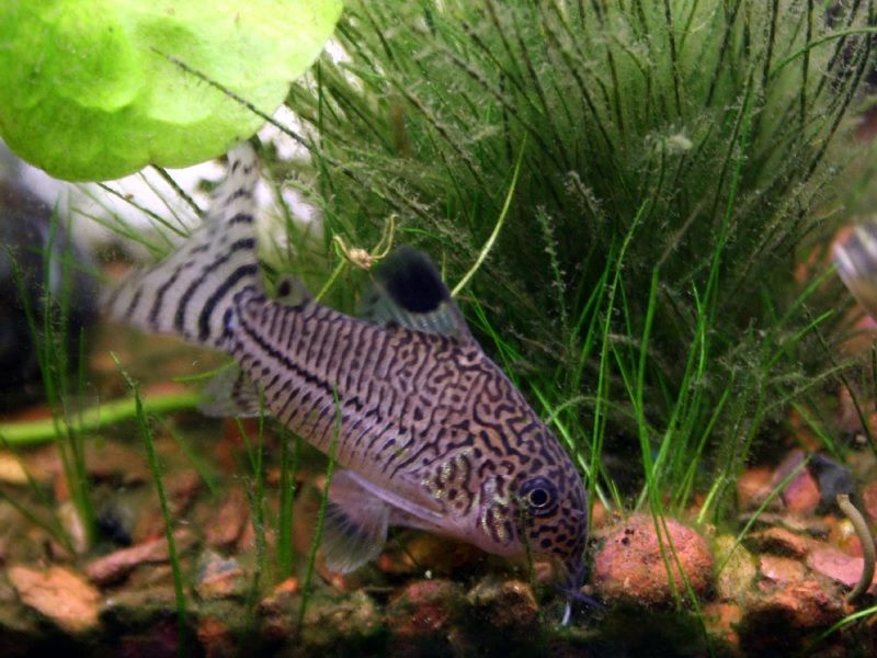 Betta Fish Tank Mates List - Corydora Catfish