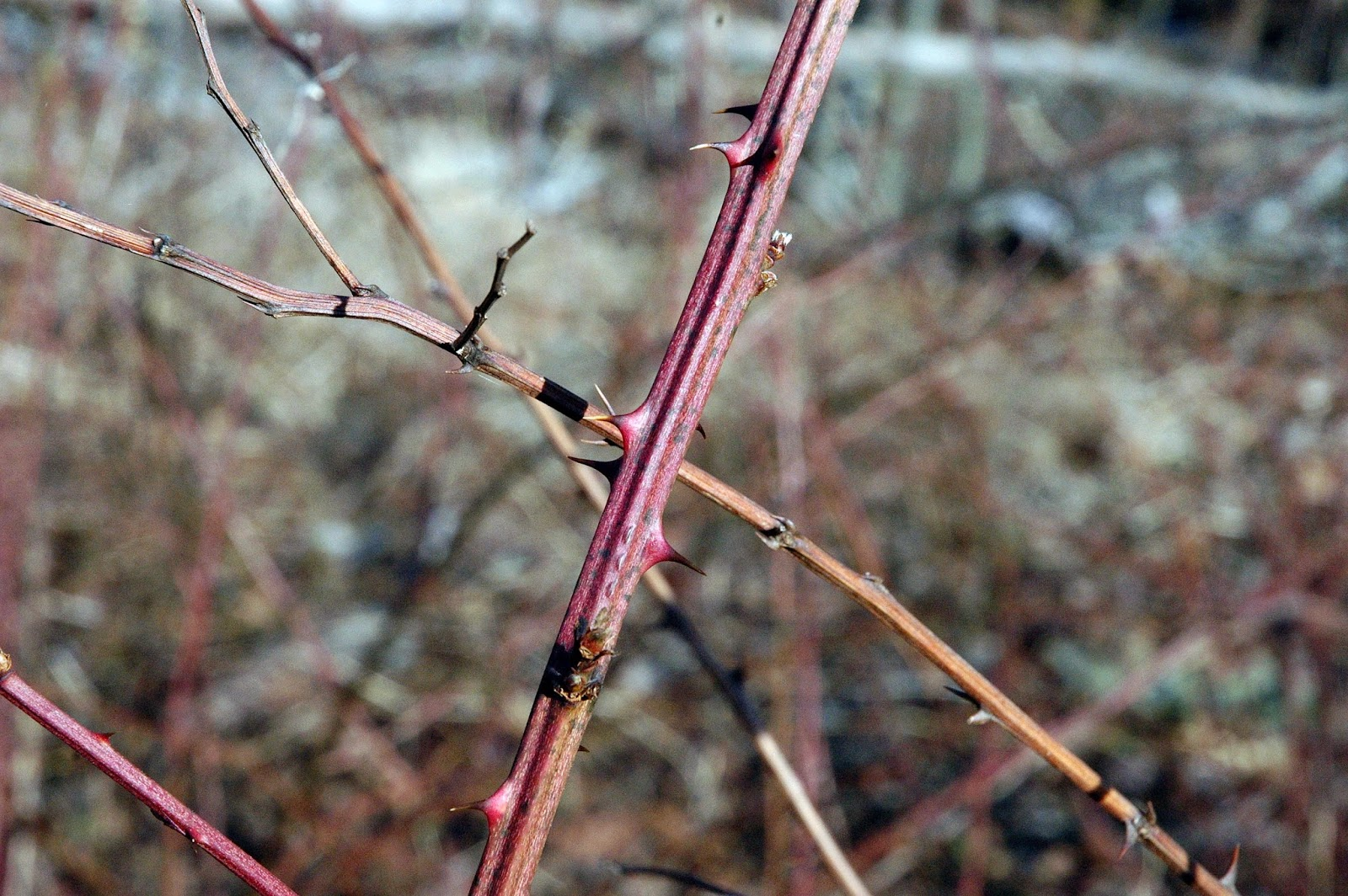Field Biology in Southeastern Ohio: A Thorny Situation