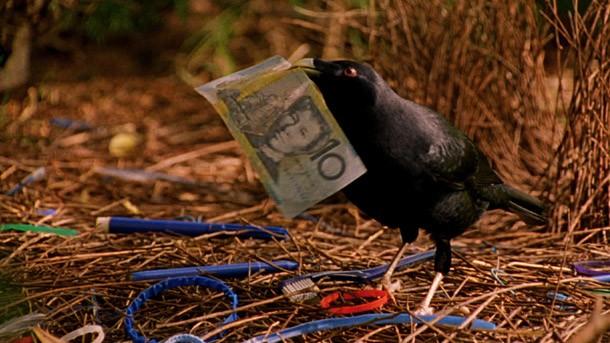 Sampah dan Aksi Burung Pintar di Pengunungan Arfak