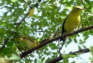 4 Tips Dan Cara Mengetahui Tempat Sarang Burung Pleci Di Habitatnya