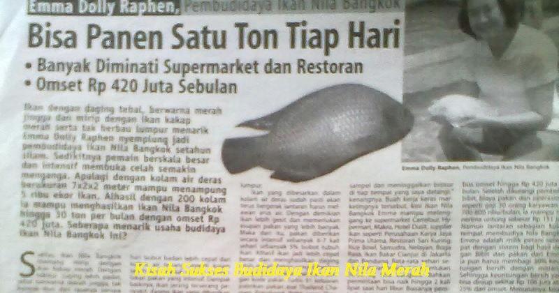 Gambar Kisah Sukses Budidaya Ikan Nila Merah