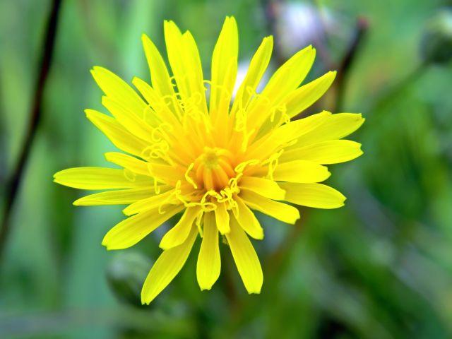 rośliny, żółty, kwiat, łąka