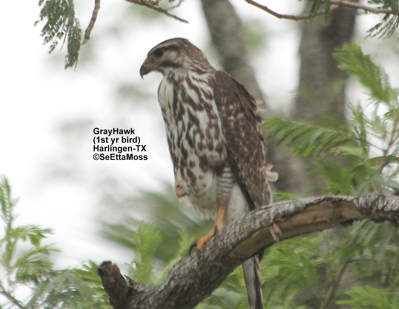 Birds and Nature: Gray Hawk, in immature plumage