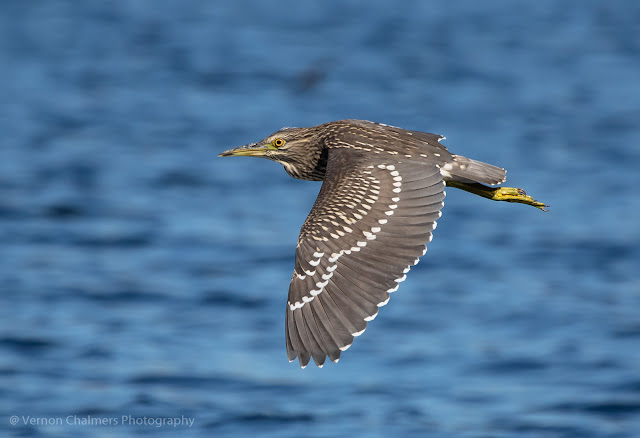 Juvenile Black.-Cr.owned Heron in Flight - Woodbridge Island Cape Town