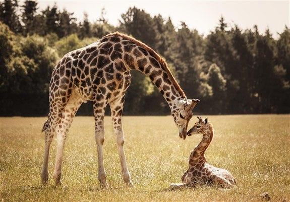 Zürafa - Z Hayvan İsimleri