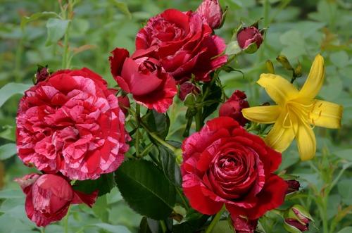 Deep Impression rose сорт розы купить фото