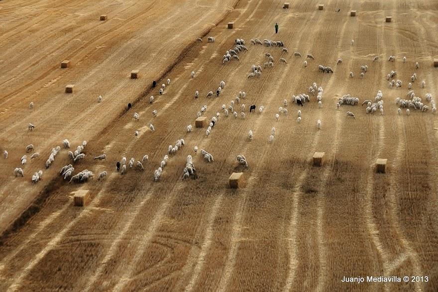 Rebaño de ovejas visto en altura sobre campo de mies cosechado