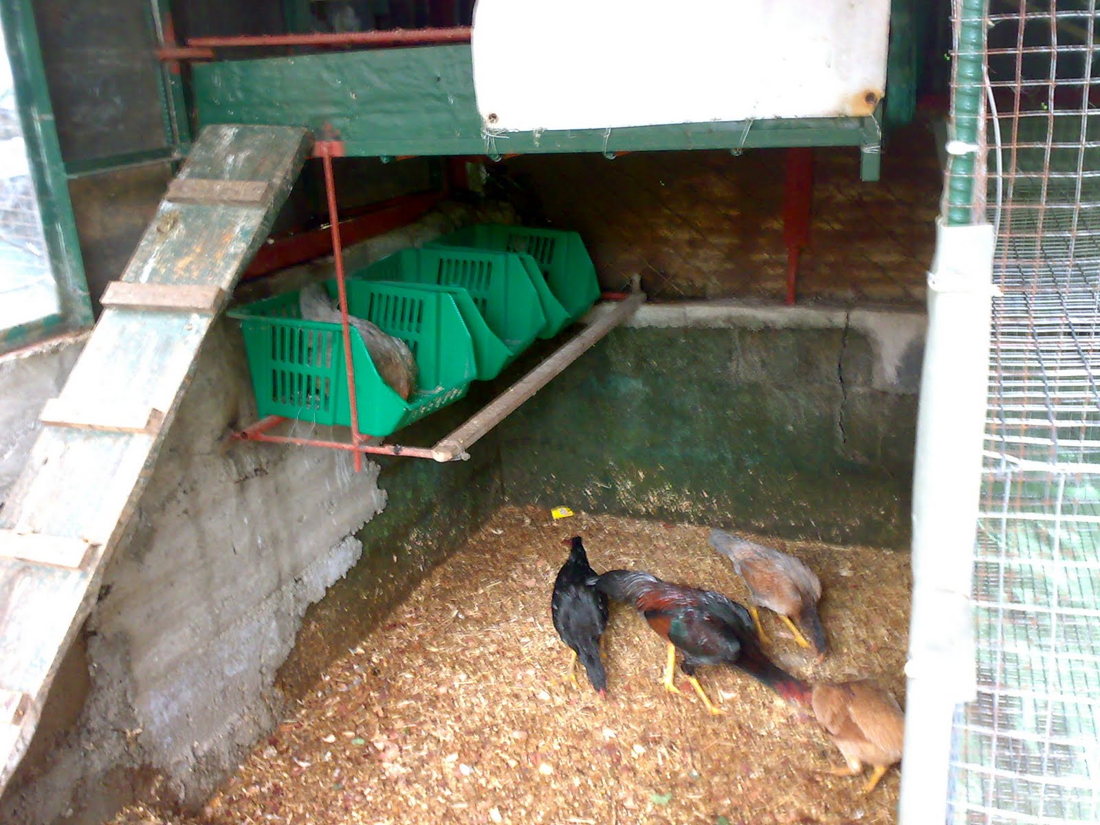 This Pic Is Inside The Coop With Wood Chips As Litter Over Concrete Floor