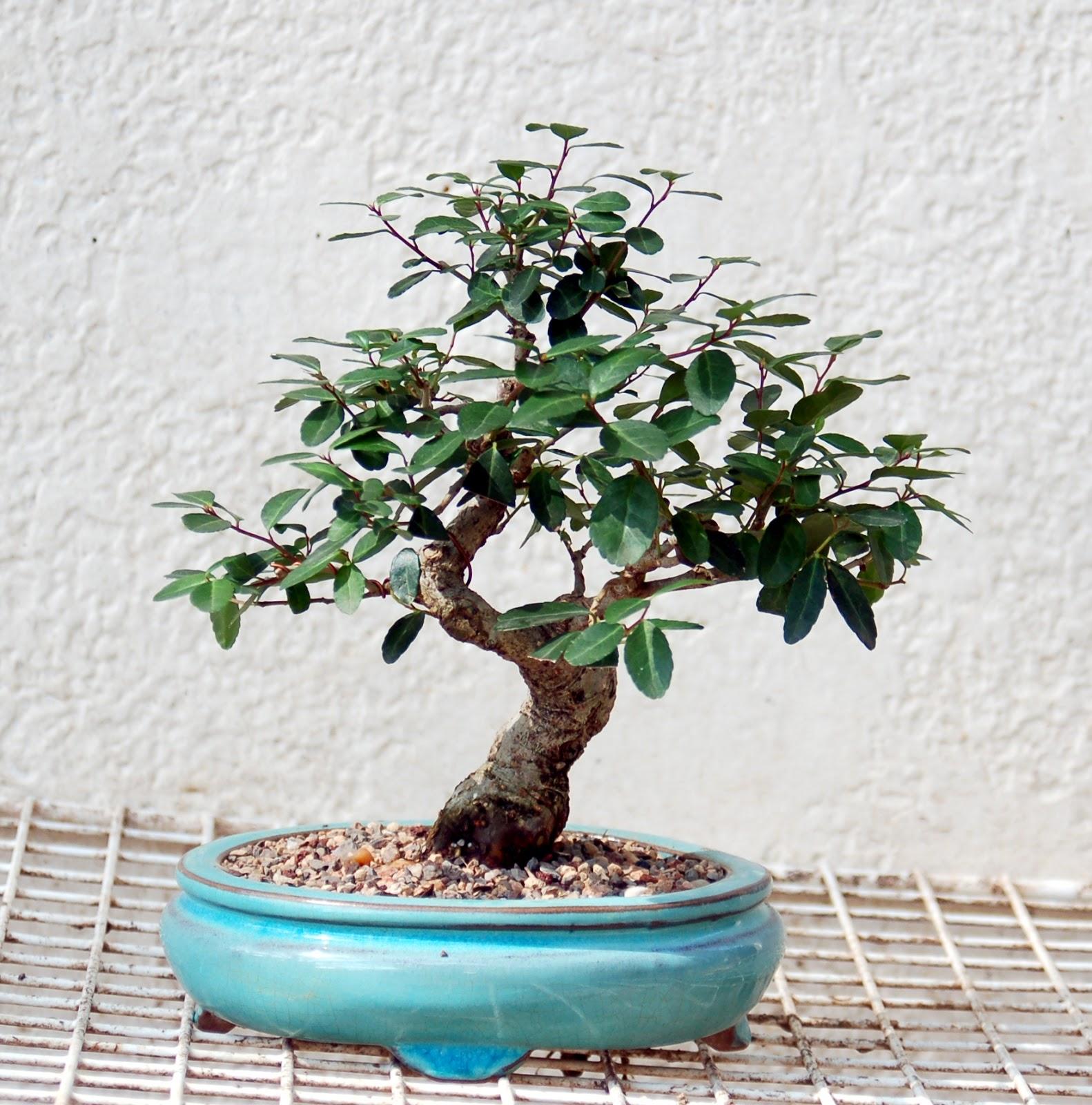 Bonsai Tree 15 Cozy Japanese Holly Bonsai Photos