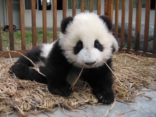Cute Baby Panda Pics: Funny Image: Cute Baby Panda Pictures
