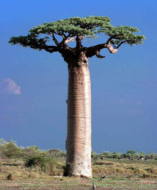Baobab com folhas em Madagascar