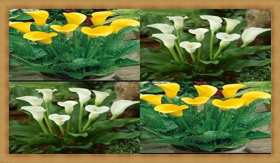 Bisnis Bunga Lily Tanaman Hias, Raup Omzet Jutaan di Tahun 2021