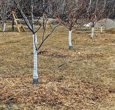 Wood Mulch Around Apple Trees