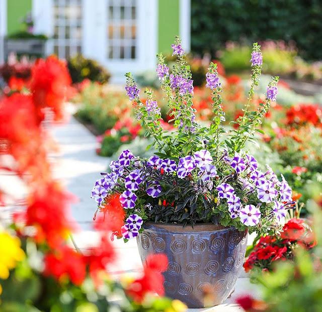 Container Garden Angelonia Petunia