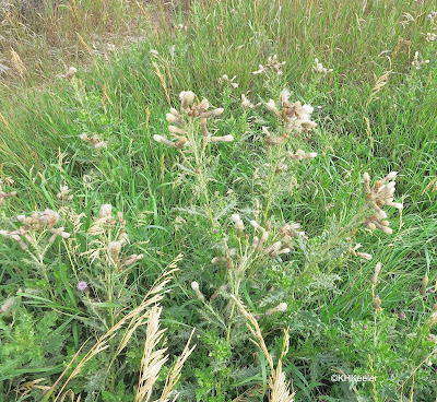 seeds on Canada thistle