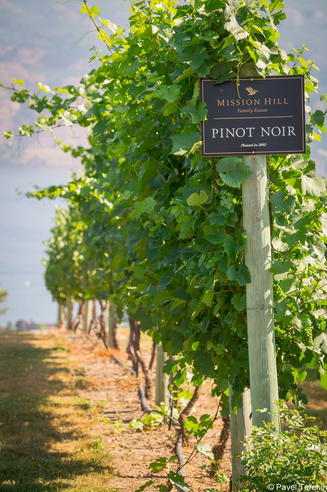 Благодатный для выращивания винограда климат Оканаган часто сравнивают с климатом долины Баросса в Австралии.