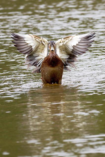 Eine Stockente breitet die Flügel aus
