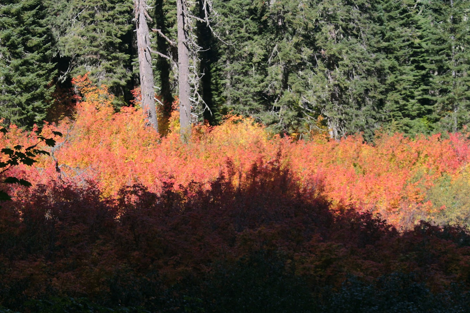 Maples And Autumn Have Thing For Each >> Richard Hikes: Yellowjacket Loop
