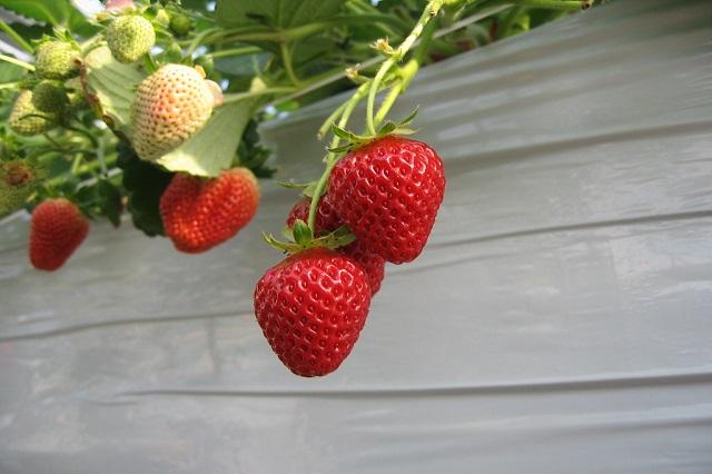 gambar strawberry Sachinoka