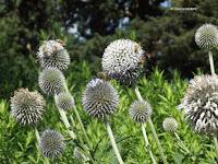 Honey bees on Globe thistle - Christchurch Botanic Gardens, New Zealand