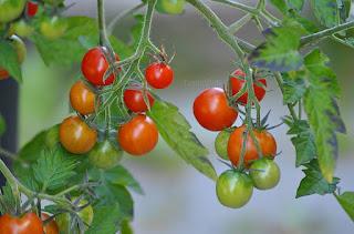 http://tomatprat.blogspot.no/2015/08/koralik-en-flott-cherry-til.html