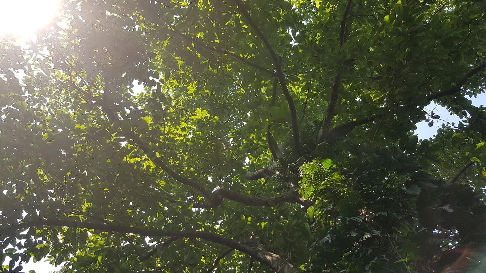 Magnolia Vrieseana Miq Baill Ex Pierre Planter And Forester