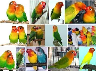 Tips Cara Merawat Dan Ternak Burung Lovebird Kandang Makanan Memilih Indukan Anakan Jantan Betina