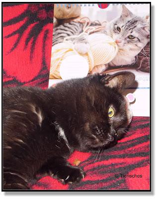 Rambo mit dem neuen Katzenkalender