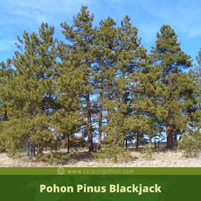 Ciri Ciri Pohon Pinus Blackjack