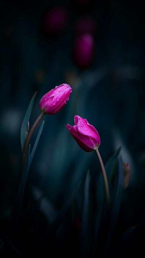 Hoa Tulip Hồng Trong Đêm