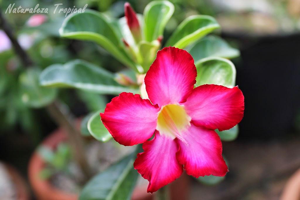 La flor Rosa del Desierto, Adenium obesum