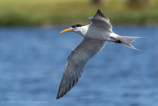 Swift Tern in Flight - Woodbridge Island
