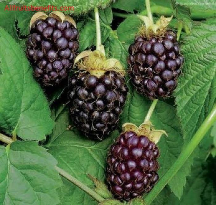 benefits of boysenberry,boysenberry benefits,boysenberry health benefits