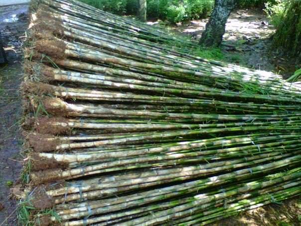 Jual aneka pohon bambu jepang | manfaat menanam bambu | suplier tanaman | tanaman hias