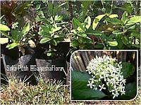 Tanaman Soka Bunga Putih