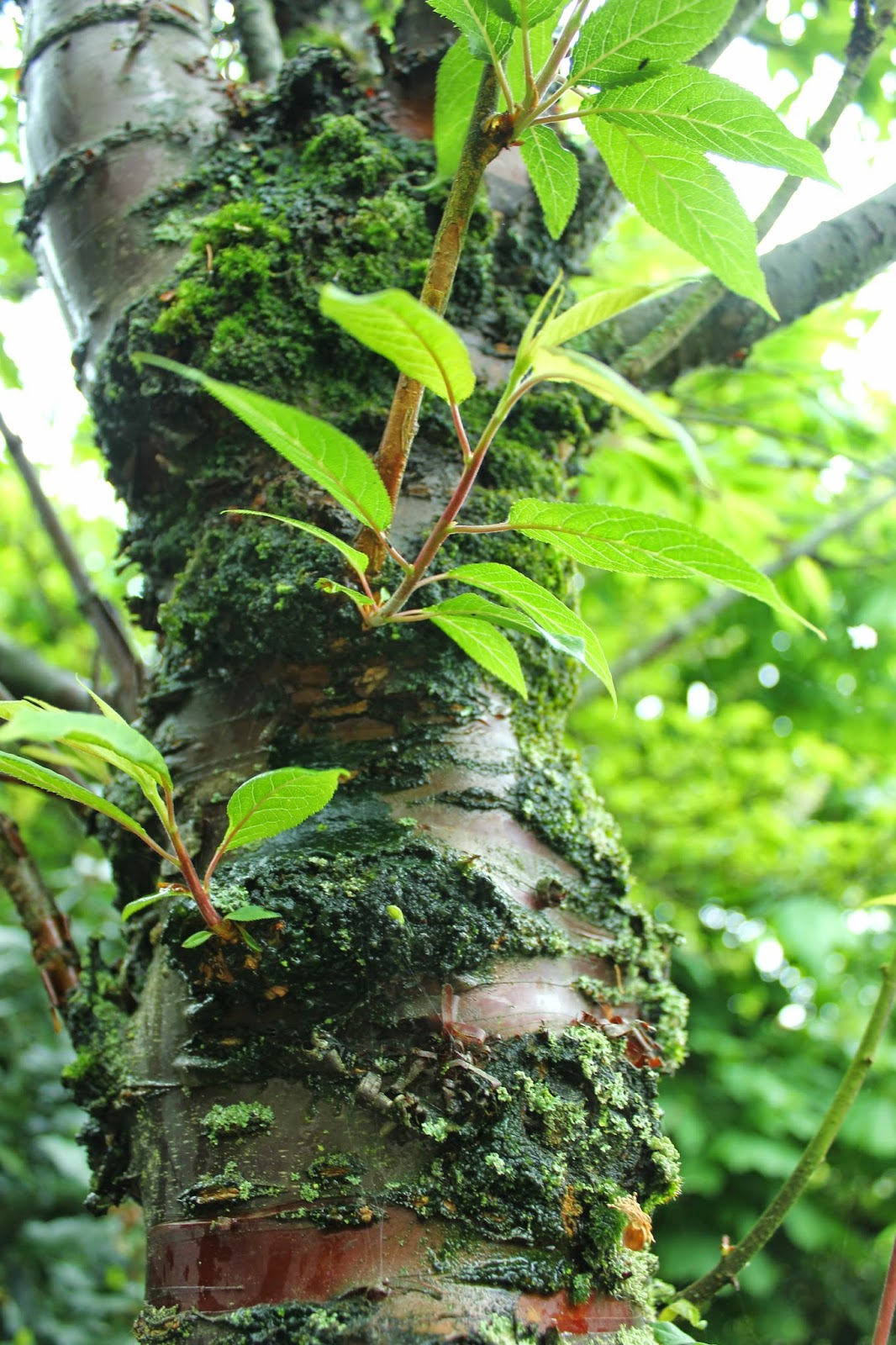 Prunus serrula var. tibetica aka birch-bark or Tibetan cherry  in a forest garden