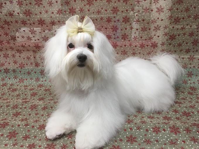 Long Hair Dog Grooming