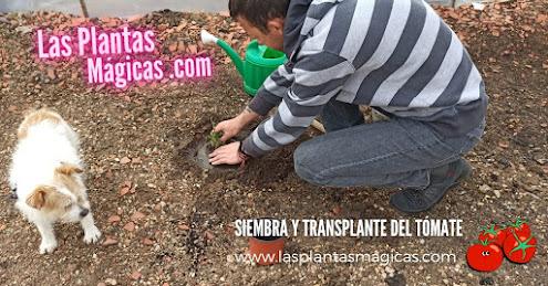 Siembra y Trasplante de Tomates (Video)