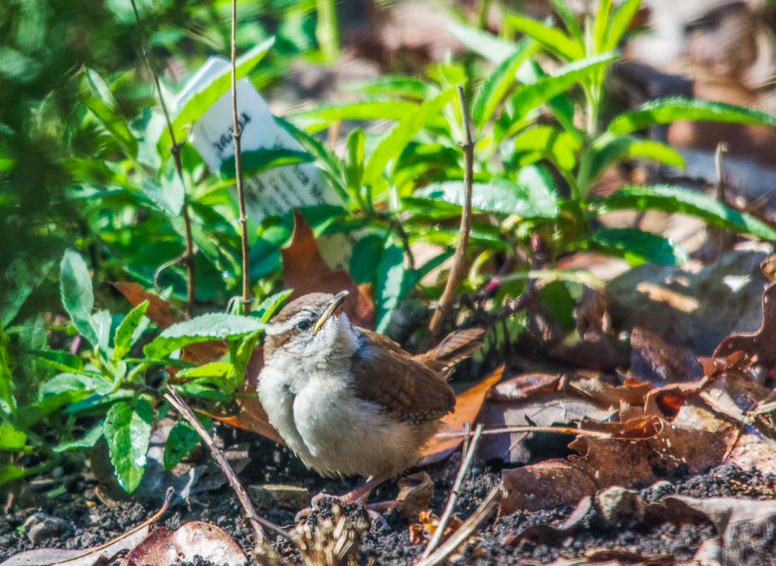 Carolina Wren fledgling